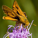 Fiery Skipper? - Hylephila phyleus