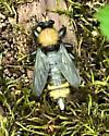 Robber Fly bumble bee mimic - Laphria sackeni