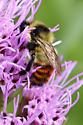 Bumble Bee - Bombus rufocinctus