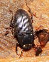 Tenebrionidae - Alaetrinus