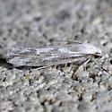 moth - Ethmia angustalatella