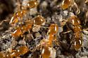 Thief Ants - Solenopsis molesta