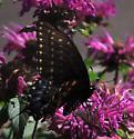 Spicebush swallowtail? - Papilio polyxenes - female