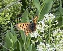 Copper - Lycaena mariposa