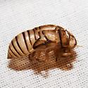 Hieroglyphic Cicada (Exuvia) - Neocicada hieroglyphica