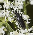 All black Lepturinae - Anoplodera pubera