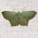 Angle-winged Emerald Moth - Hodges #7075 - Chloropteryx tepperaria - female