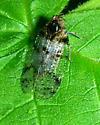 Plant hopper - Cixius meridionalis