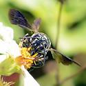 Wasp - Coelioxys dolichos