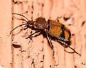 A beautiful beetle, ID not obvious to me.  Help! - Panagaeus fasciatus