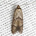 Unknown Scavenger Moth