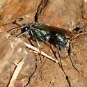 Spider wasp, Auplopus architectus - Auplopus