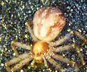 Philodromus female - Philodromus spectabilis - female