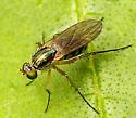 Small Fly - Dolichopus