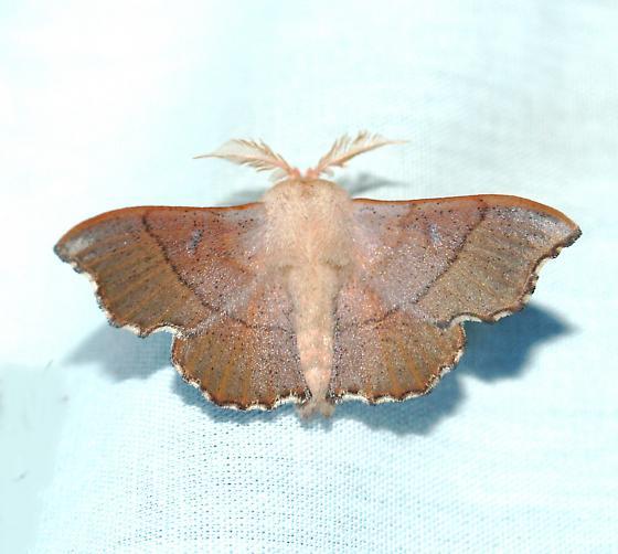 Lacosoma  - Lacosoma arizonicum