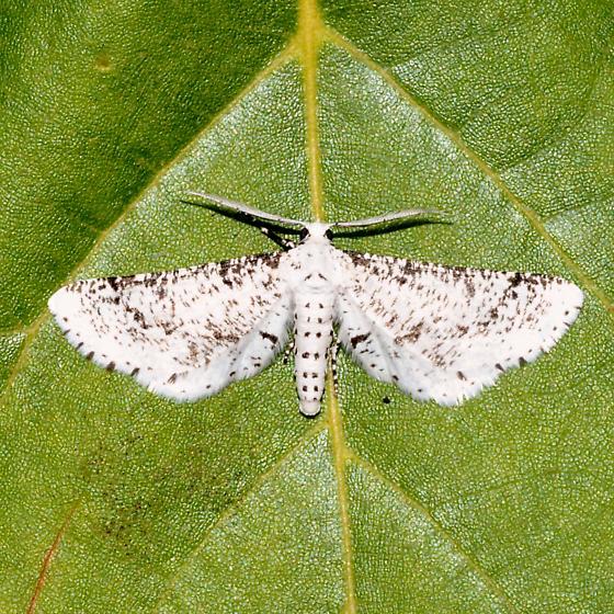 Hodges#6920 - Acanthotoca graefii - male