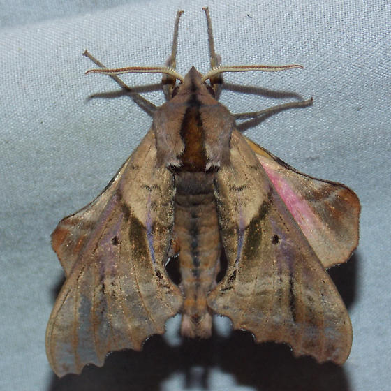 7824 Blinded Sphinx - Paonias excaecata - male