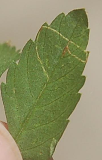 Lake Crabtree leaf miner on Bidens aristosa D1036 2018 1