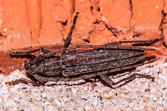 Longhorn beetle ... - Anelaphus parallelus