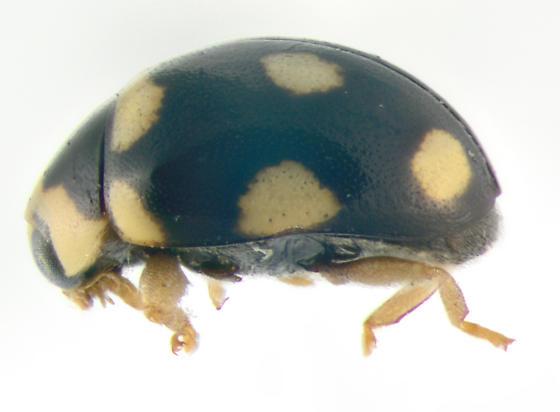 Coccinellidae, lateral - Brachiacantha decempustulata