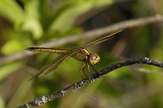 Unknown Dragonfly - Everglades National Park, Florida - Libellula needhami - female