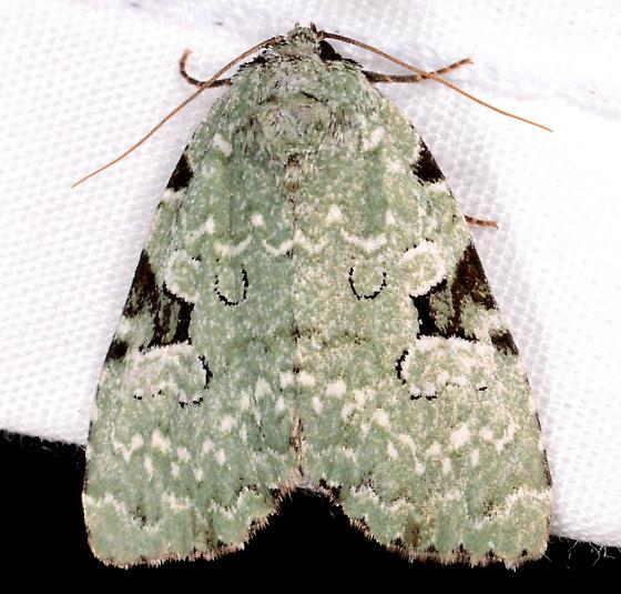 Leuconycta - Leuconycta diphteroides