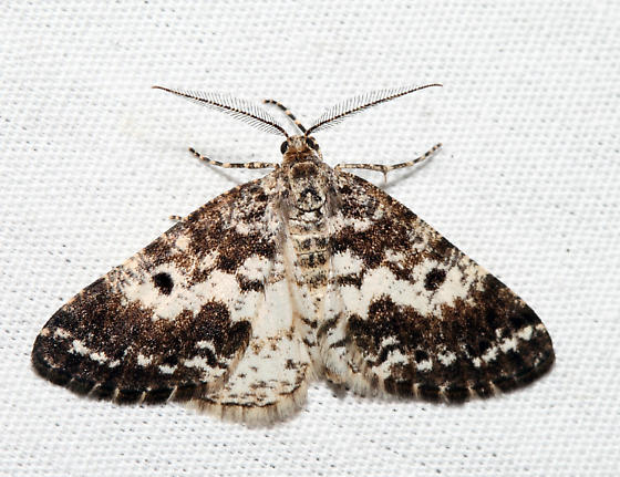 Sharp-lined Powder Moth - Eufidonia discospilata - male