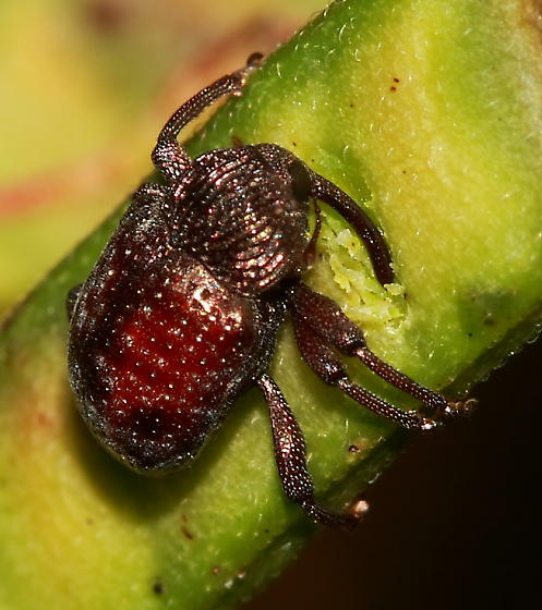 Weevil - Chalcodermus collaris - female