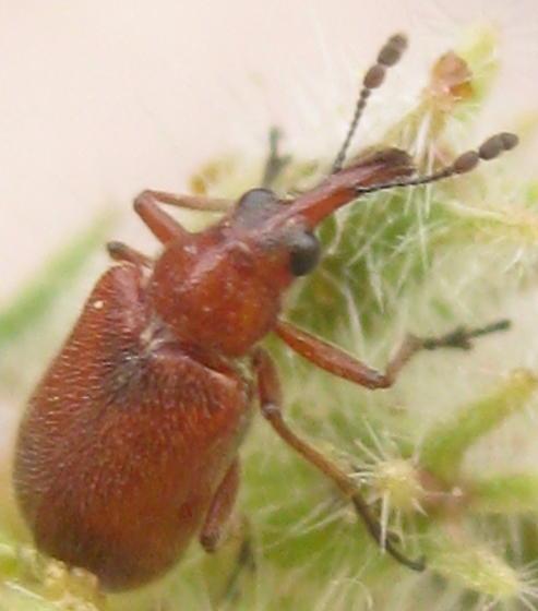 Red Beetle - Auletobius nasalis