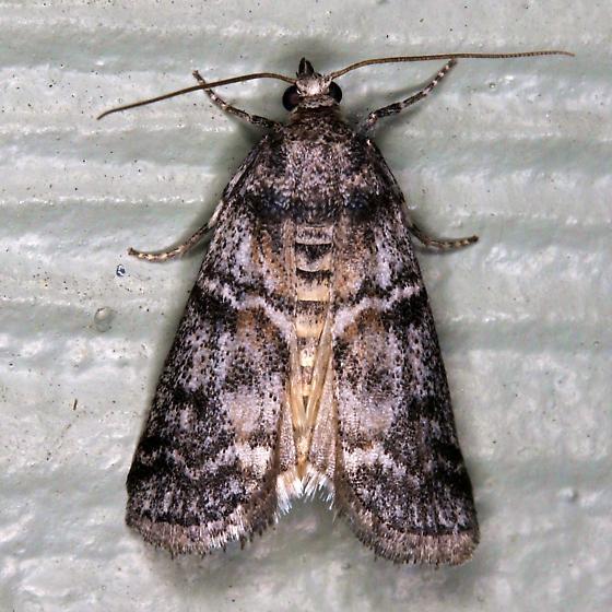 Nolid Moth maybe?