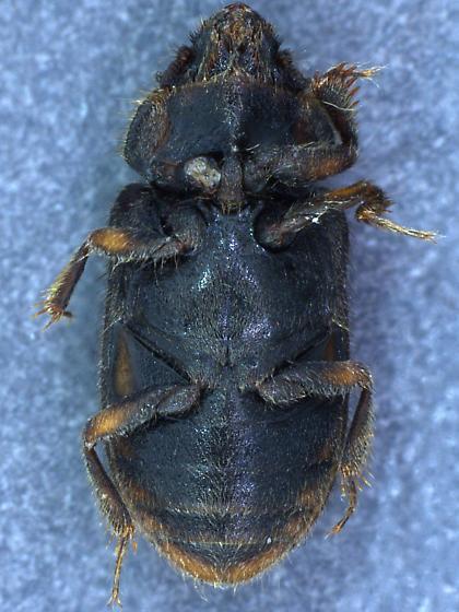 Fern Beetle - Heterocerus