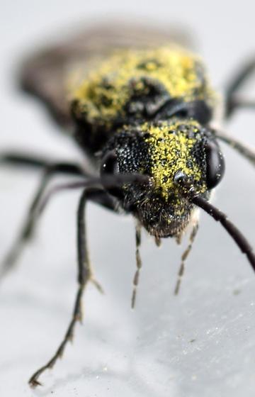 sawfly - Dolerus nitens - female