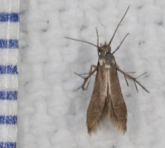 Schreckensteinia erythriella - Hodges#2507 - Schreckensteinia erythriella