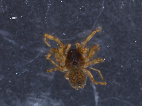 Snoqualmie Spider - Neoantistea magna