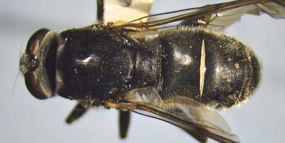 Syrphid - Myolepta nigra