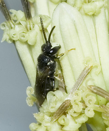 The last few species from Cacalia - Hylaeus hyalinatus - male