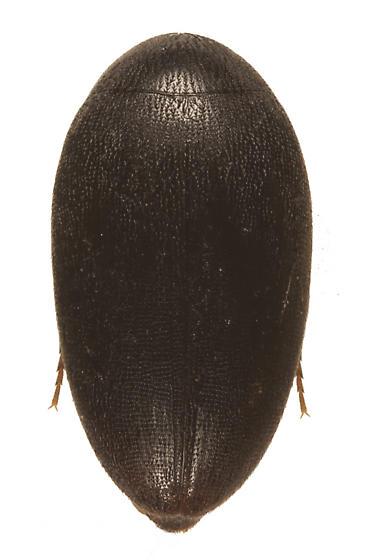 unknown beetle - Eucinetus terminalis