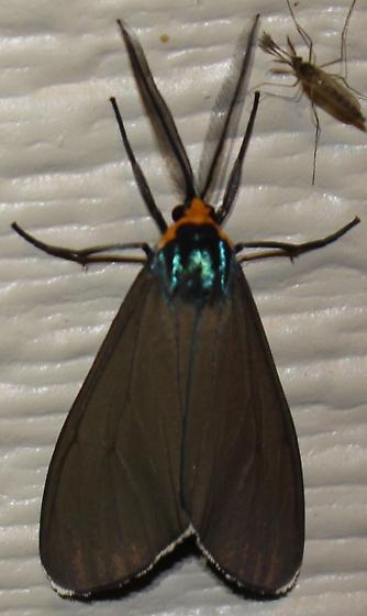 Virginia Ctenucha - Hodges#8262 - Ctenucha virginica