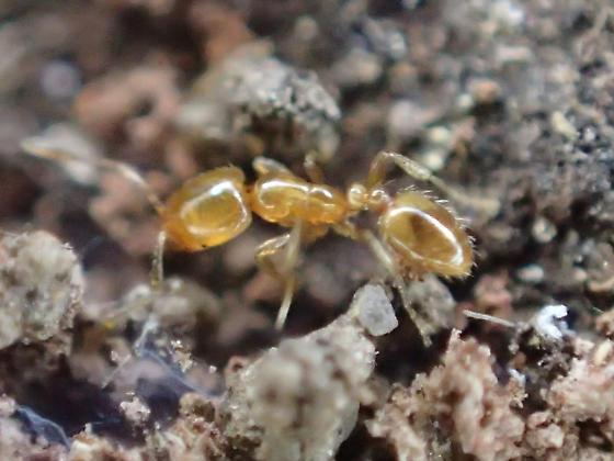 Ant - Solenopsis texana