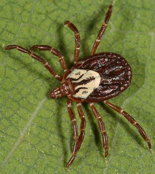 Gulf Coast Tick - Amblyomma maculatum - female