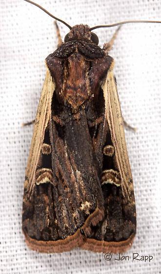 Western Bean Cutworm Moth - Striacosta albicosta
