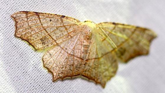 Oak Besma - Besma quercivoraria - female