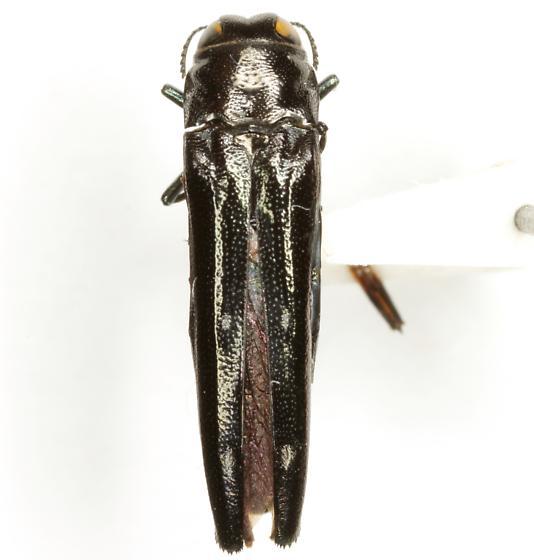 Agrilus prionurus Chevrolat - Agrilus prionurus