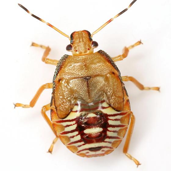 Podisus maculiventris (Say) - Podisus maculiventris