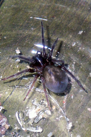 Black spider in Northeast Ohio Basement