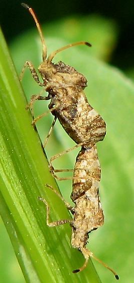 Mating Coreids - Centrocoris variegatus - male - female