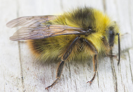 Bumblebee - Bombus