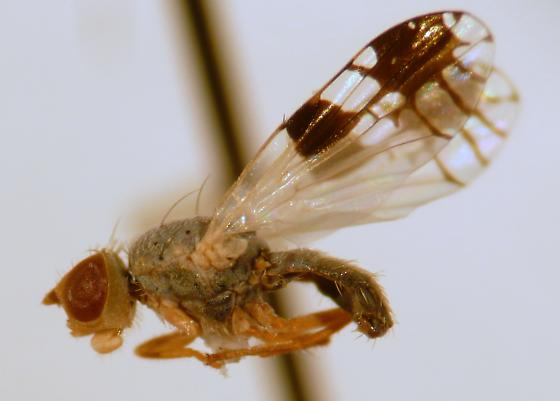 Gray fly with patterned wings - Trupanea bisetosa