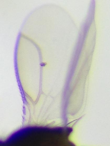 Bromeloecia seltzeri - NEW GENUS - Bromeloecia - male