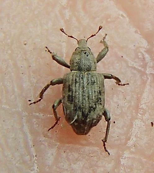 Beetle - Lissorhoptrus oryzophilus